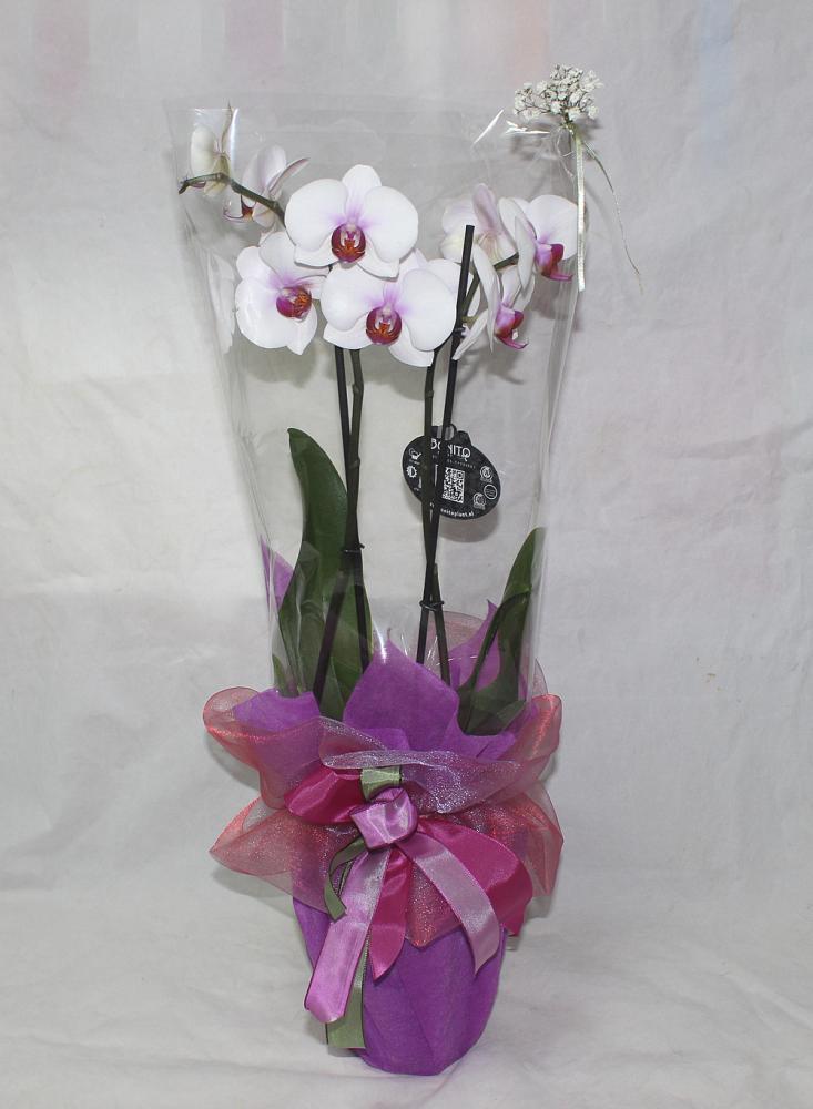 Dostava Cvijeća Buket Lončanica Orhideja Ifra 41pb